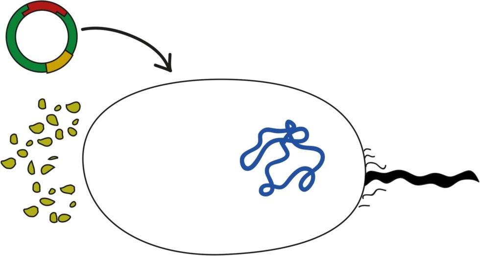 Transformation – das Bakterienplasmid mit dem gewünschten DNA-Abschnitt wird mittels Transformation in die Bakterien eingebracht.jpg