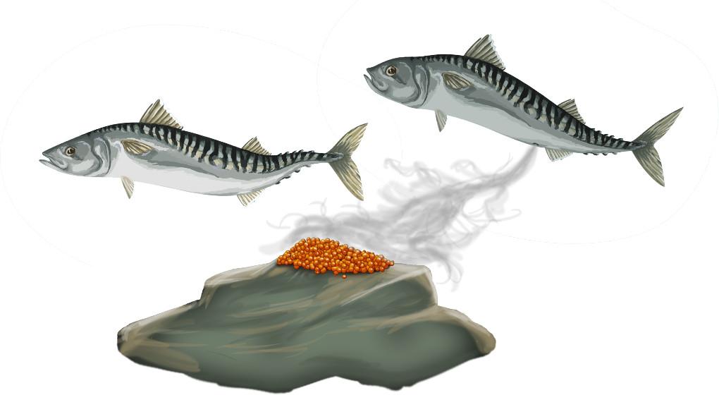 Eibefruchtung bei Fischen.jpg