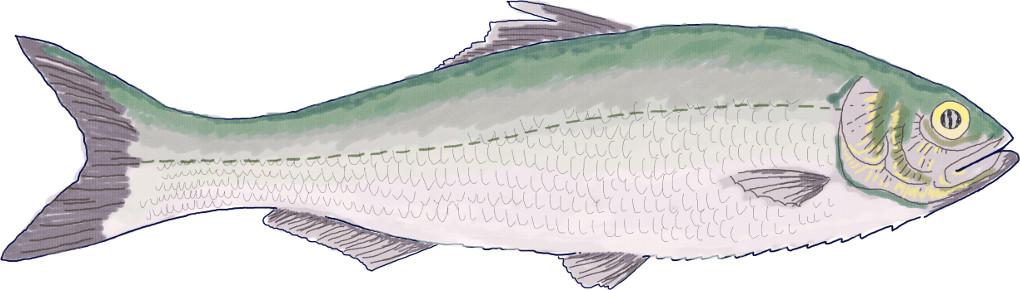 Seitenlinienorgan des Fisches.jpg