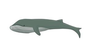 Meeressäuger Blauwal