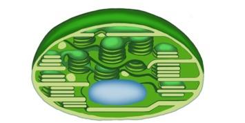 Chloroplast im Querschnitt (schematisch) - Fotosynthese