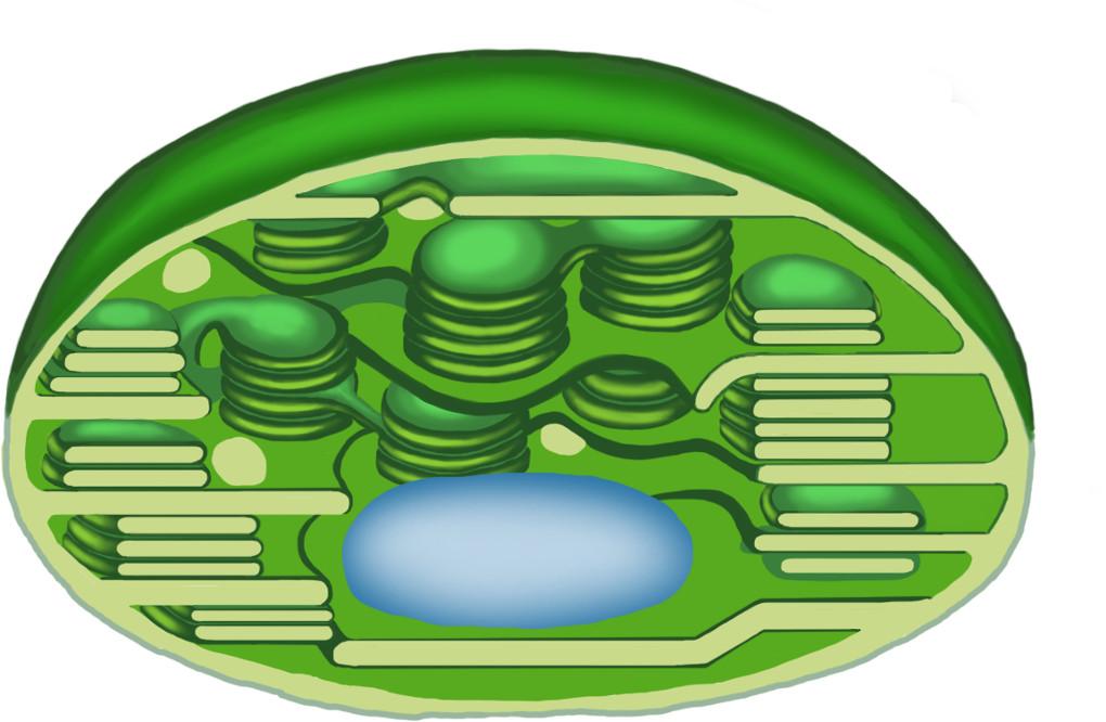 Aufbau des Chloroplasten