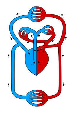 Blutkreislauf, schematische Darstellung