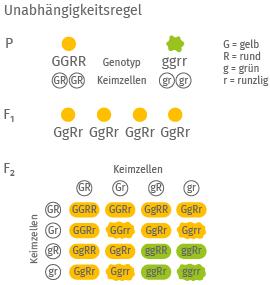 Dritte Mendelsche Regel: Unabhängigkeits- und Neukombinationsregel, schematisch