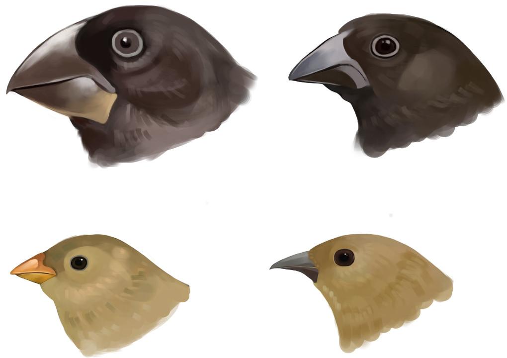 Schnabelformen der Darwinfinken