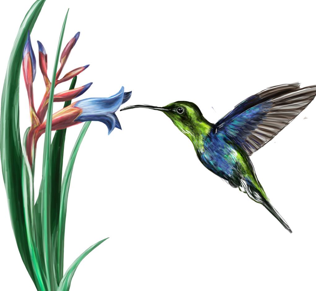 Koevolution: Schnabellänge des Kolibri und Kelchform der Blüte
