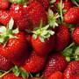 I17047 erdbeere florence
