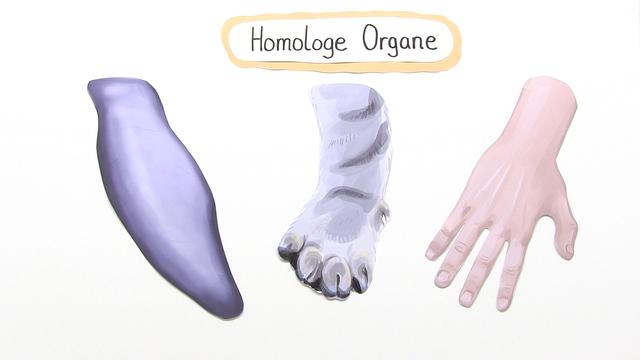 homologie homologe organe als beleg der evolution. Black Bedroom Furniture Sets. Home Design Ideas