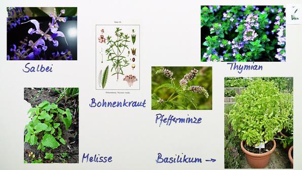vertreter verschiedener pflanzenfamilien biologie online lernen. Black Bedroom Furniture Sets. Home Design Ideas