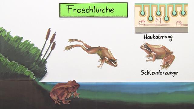 Froschlurche grasfrosch und erdkr te einfach erkl rt - Frosch englisch ...