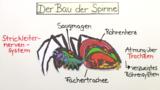 Spinnentiere – innerer und äußerer Bau