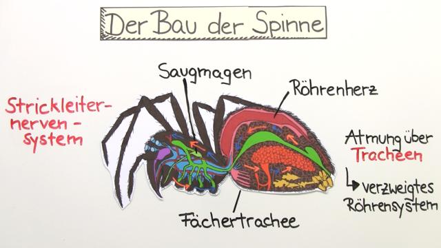11907_-_Der_Bau_der_Spinnentiere.png?1389949078