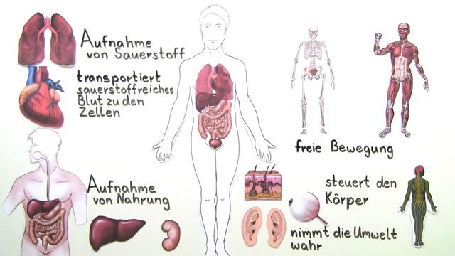 Organe des Menschen – Überblick