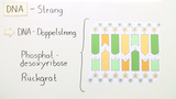 Der Aufbau der DNA