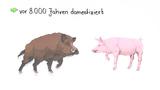 Das Wildschwein ist die Stammform des Hausschweins