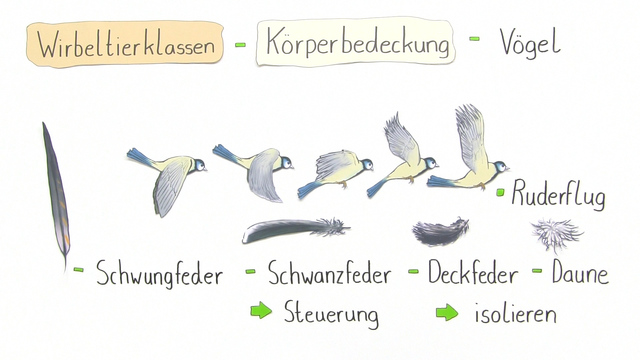 Arbeitsblatt Der Vogel : Körperbedeckung der wirbeltiere biologie online lernen