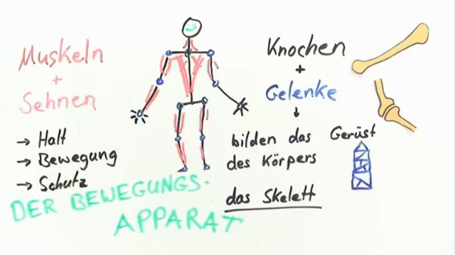 Skelett des Menschen  einfach amp anschaulich erklärt