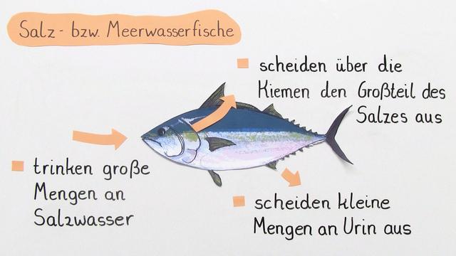 Osmoregulation bei Fischen