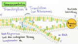Proteinbiosynthese – Vergleich von Prokaryoten und Eukaryoten