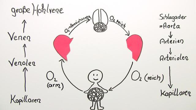 Herz Kreislauf Englisch