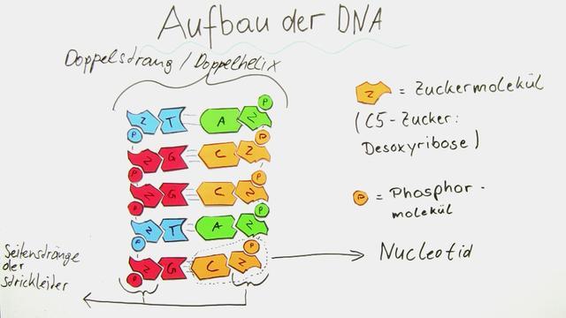 Aufbau der DNA – In 3 1/2 Minuten erklärt.