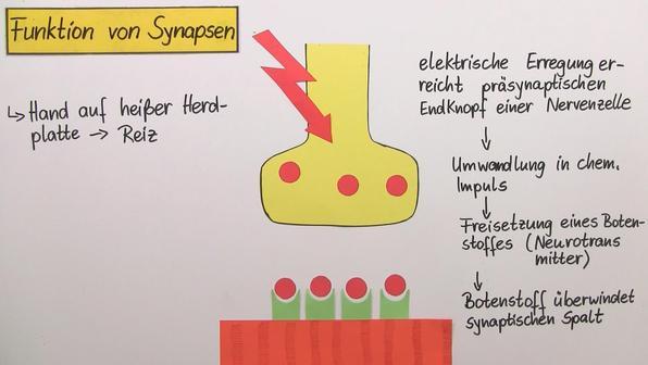 Bau und funktion der synaps