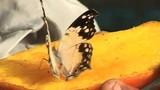 Küstenstadt in Kenia lebt von der Schmetterlingszucht