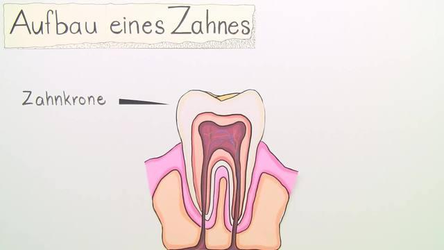 Zähne und Gebiss (Basiswissen)