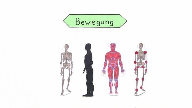 Bewegung – Zusammenarbeit von Knochen, Muskeln und Gelenken